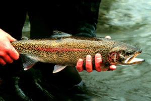 Rainbow_Trout_in_Hand_at_Gechiak_Creek_(8426057273)