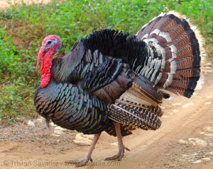 Wild-Turkey-Bird
